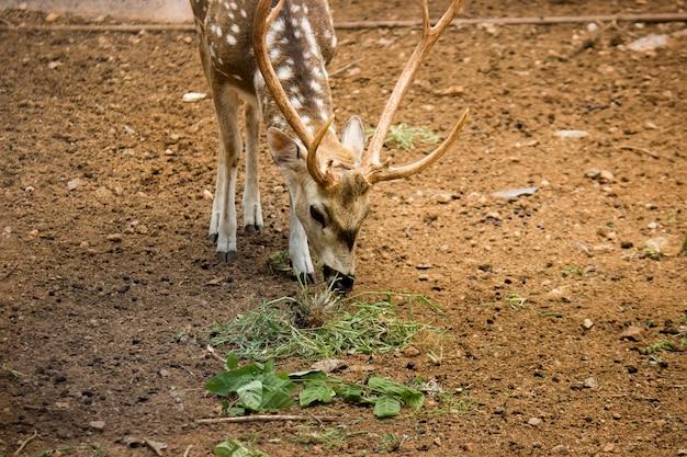 Soleggiato cervo cervus elaphus feste di addio al celibato con nuove corna che crescono di fronte alla fotocamera in estate natura