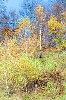 Soleggiato bosco di betulle autunnali sul fianco di una montagna.