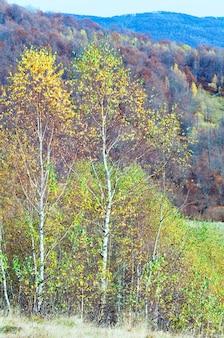 Soleggiato bosco di montagna autunnale e betulle sul fianco di una montagna.