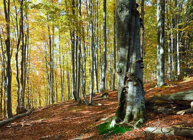Soleggiato bosco di montagna autunnale (sul fianco della montagna)