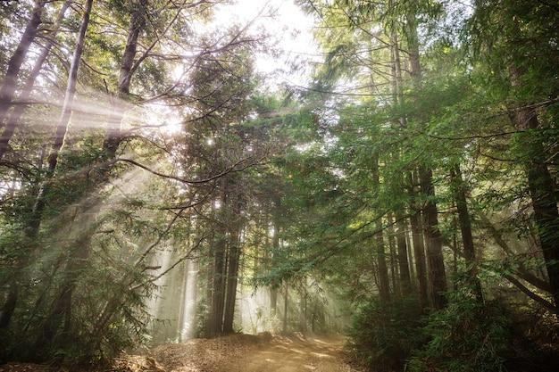 Travi di sole nella foresta al tramonto