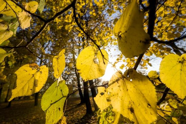 Giornata di sole in cui il sole illumina le foglie degli alberi nella stagione autunnale, il fogliame degli alberi è diventato giallo.
