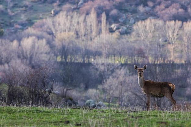 Tramonto e cervi in capcir, cerdagne, pirenei, francia meridionale.
