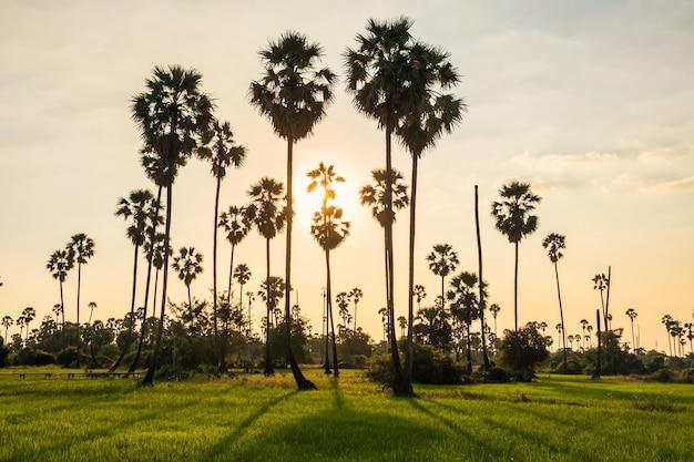 Luce del tramonto attraverso il paesaggio delle palme
