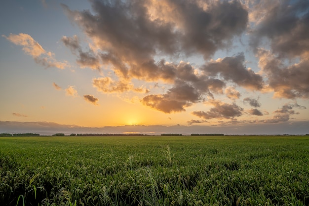 Tramonto in un campo di riso della