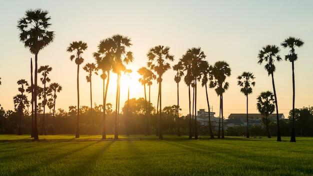 Scena del tramonto al campo di risaia e all'allevamento di palme da zucchero