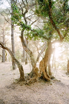 La luce del sole al tramonto in un uliveto multipiano tronchi d'albero intrecciati con l'edera
