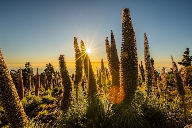 Tramonto tra tajinastes nel parco naturale della caldera de taburiente, isola di la palma, isole canarie, spain