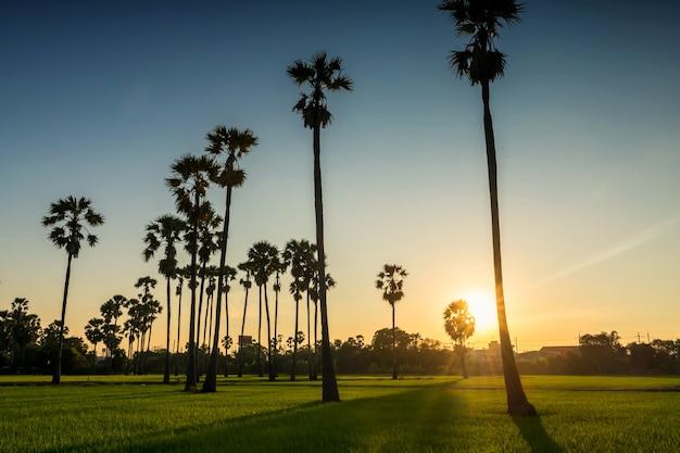 Punto di vista del tramonto alla risaia e all'allevamento di palme da zucchero con ombra leggera in pathum thani