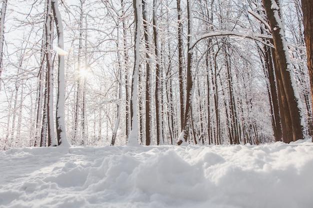 Tramonto in pineta invernale con neve sugli alberi e pavimento in una giornata di sole.