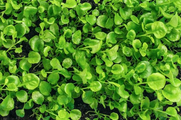 Superficie di giovani germogli verdi di piante con foglie piccole