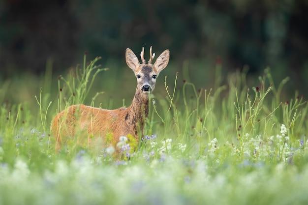 Un capriolo sorpreso che si nasconde in un'alta vegetazione