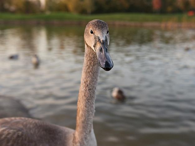 Cigno e anatre sul lago