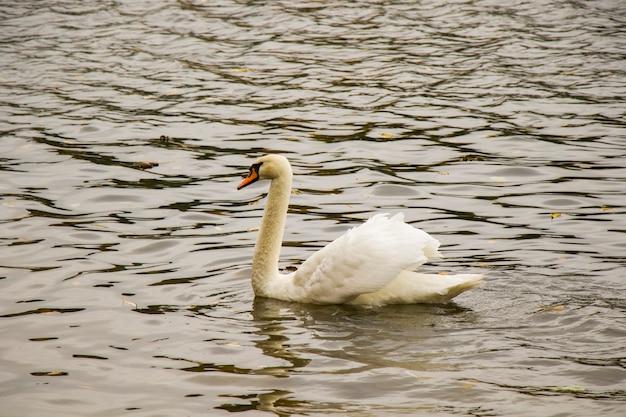 Swan nel lago, tema degli animali. cigno bianco.
