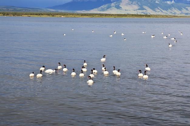 Swan a puerto natales del cile