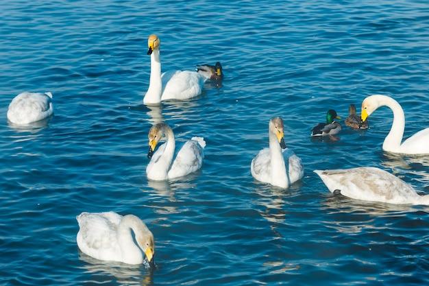 Swan nuotare in acqua in un lago all'aperto
