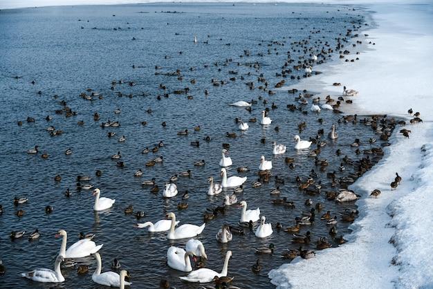 Cigni e anatre nuotano in un lago non ghiacciato in inverno.