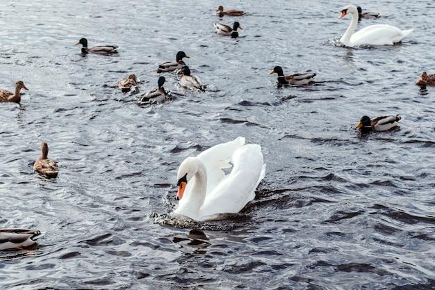 Cigni e anatre sull'acqua. gli uccelli nuotano nel lago.