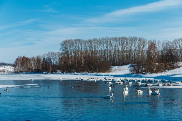 Cigni nella nebbia che nuotano in acqua in un lago all'aperto