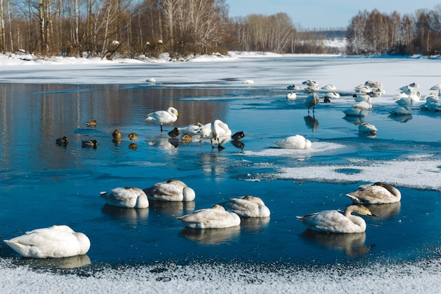 Swans dorme sul ghiaccio in un lago all'aperto