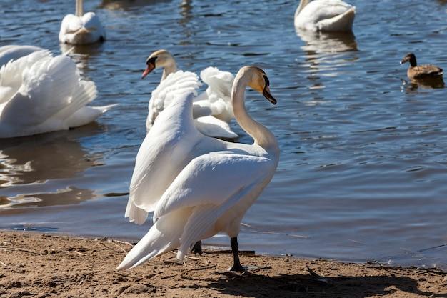 Cigni in primavera al lago