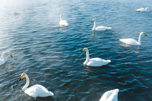 Cigni al sole che nuotano in acqua in un lago all'aperto
