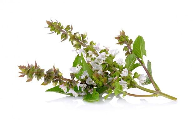 Fiore dolce del basilico isolato