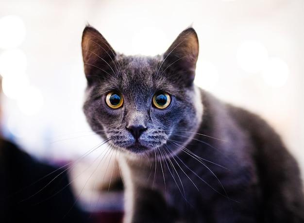 Gatto dolce, molto giocoso, con gli occhi gialli