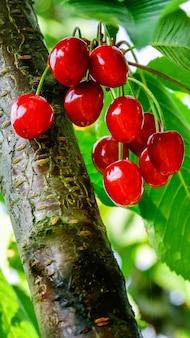 Bacche rosse della ciliegia dolce sul ramo di albero