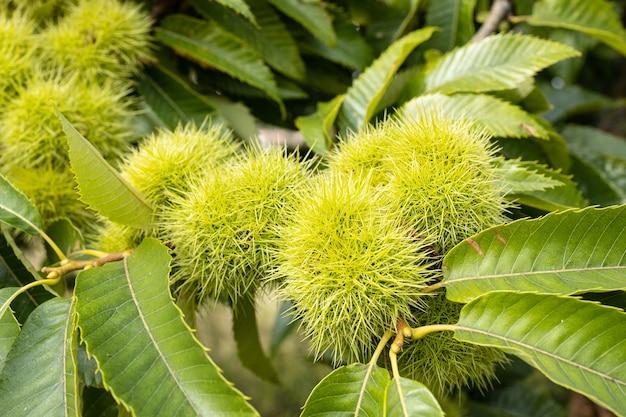 Sweet chestnut bucce e foglie che crescono sul castagno. castanea sativa