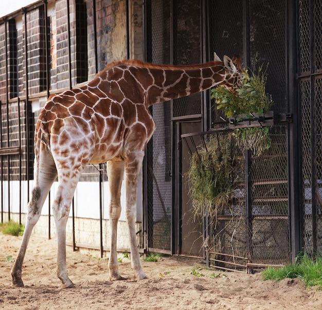 Dolce giraffa allo zoo