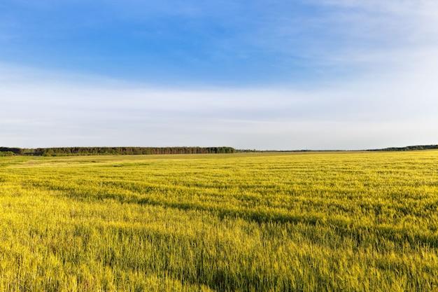 Cereali verdi acerbi dolci nei campi in estate, raccolti cereali e granaglie per nutrire le persone e il bestiame nelle fattorie