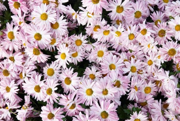 Crisantemi rosa dolci
