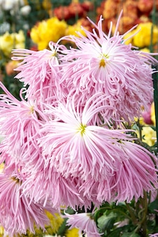 Crisantemi rosa dolci.