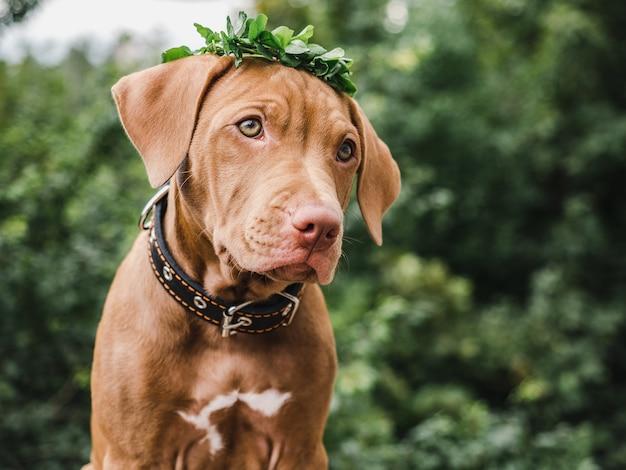Dolce cucciolo di color cioccolato con una corona
