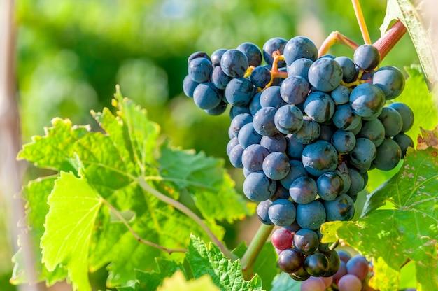 Dolce e gustoso grappolo d'uva blu sulla vite con copyspace spazio libero