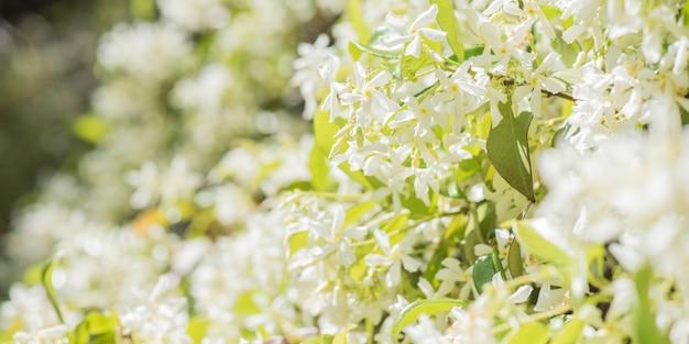 Fiori bianchi dolcemente profumati di gelsomino stellato o falso gelsomino rampicante