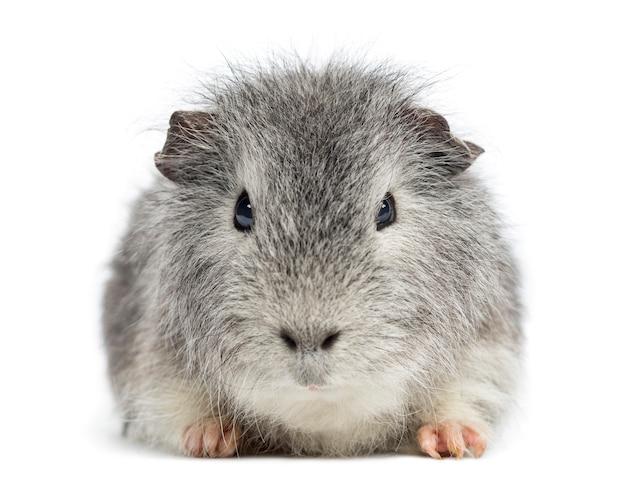 Swiss teddy guinea pig rivolto di fronte guardando la telecamera
