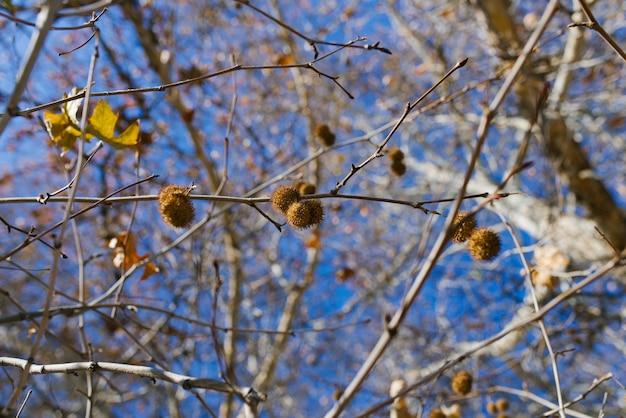 Frutto del sicomoro su un ramo di albero in autunno