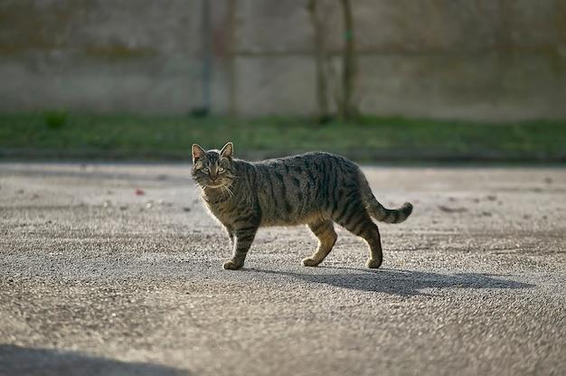 Tabby gatto di media statura che cammina davanti al punto di ripresa.