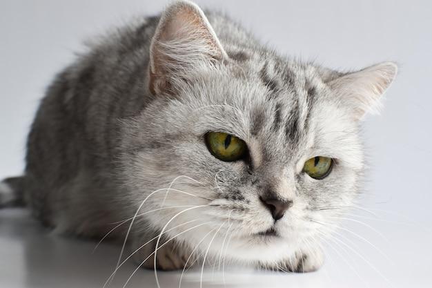 Il gatto soriano è sdraiato su quello bianco