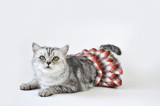 Un gatto soriano si trova su una superficie bianca in una gonna