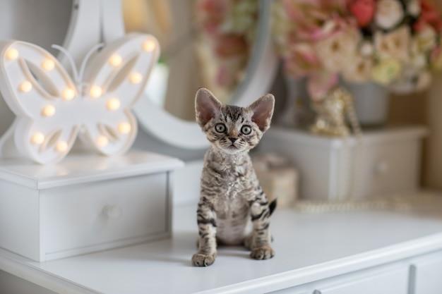 Tabby devonrex gattino si siede sul tavolo da toeletta