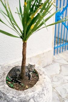 Il gatto grigio soriano dorme in una vasca con una palma vicino al muro della casa
