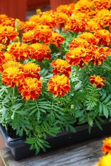 Tagetes patula calendula francese in fiore, fiori giallo arancio, foglie verdi, pianta in vaso