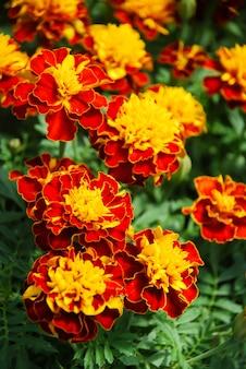 Tagetes patula calendula francese in fiore, fiori giallo arancio, foglie verdi, pianta da vaso