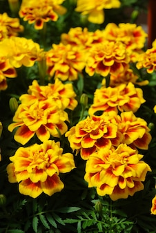 Tagetes patula calendula francese in fiore, fiori giallo arancio, foglie verdi, piccola pianta in vaso
