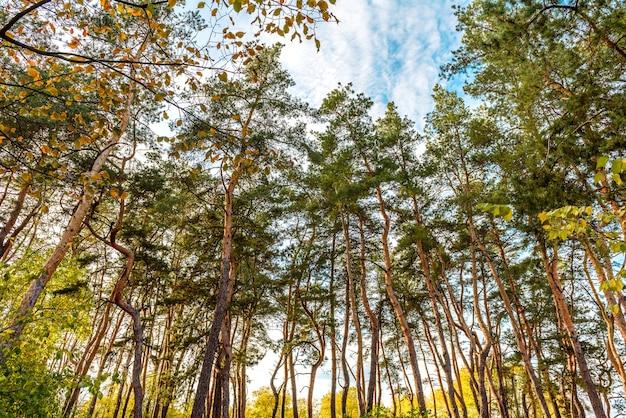 Alti bei tronchi di pini nella foresta di autunno sullo sfondo di un cielo blu brillante. tempo d'autunno