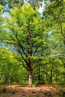 Vecchio albero alto nella foresta verde