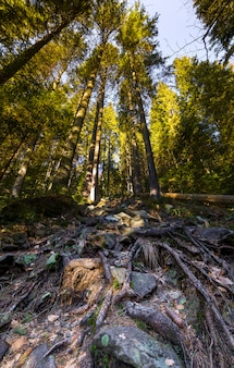 Radici di alti alberi di pino